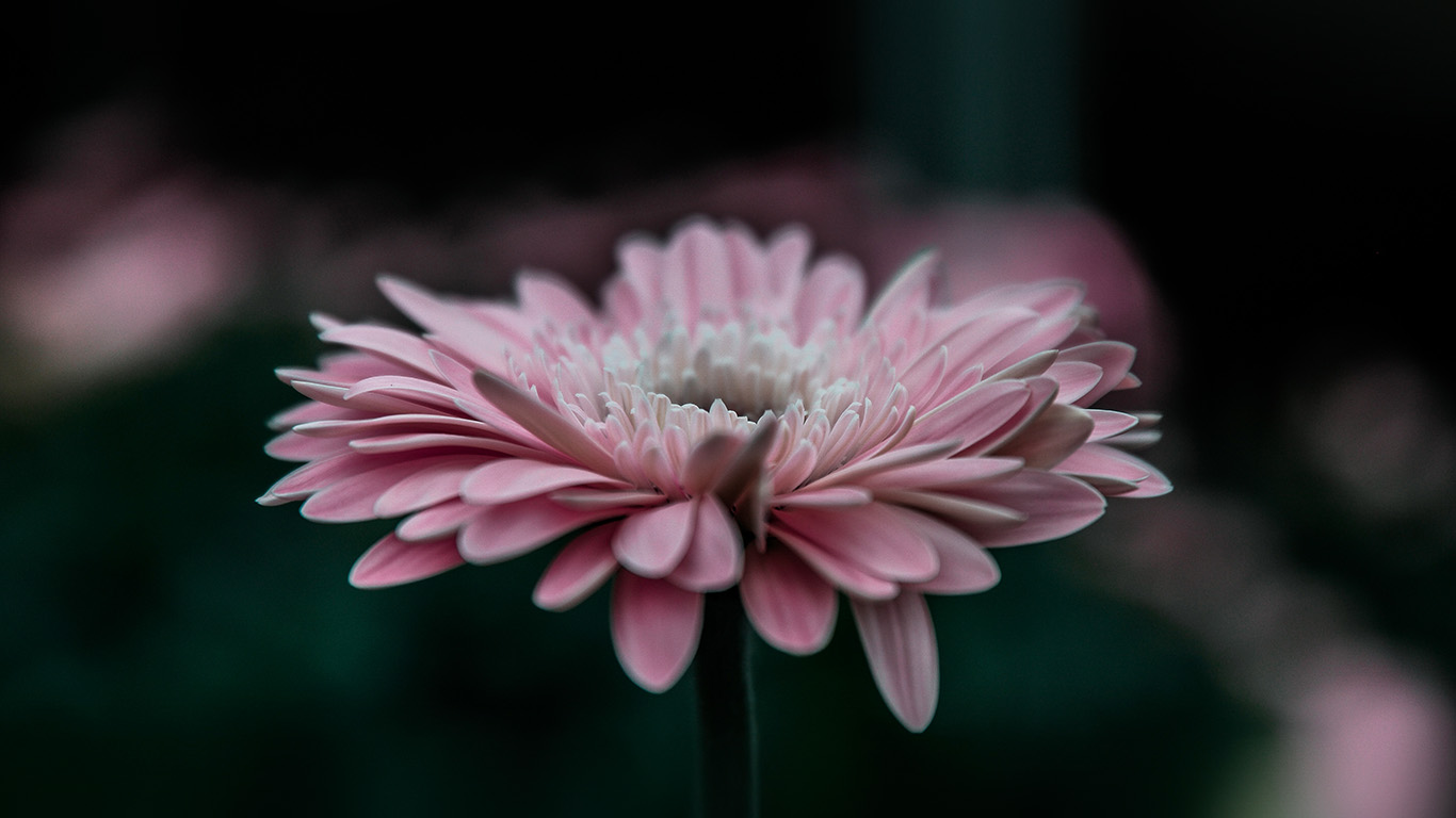 desktop-wallpaper-laptop-mac-macbook-air-my62-flower-pink-calm-nature-bokeh-wallpaper