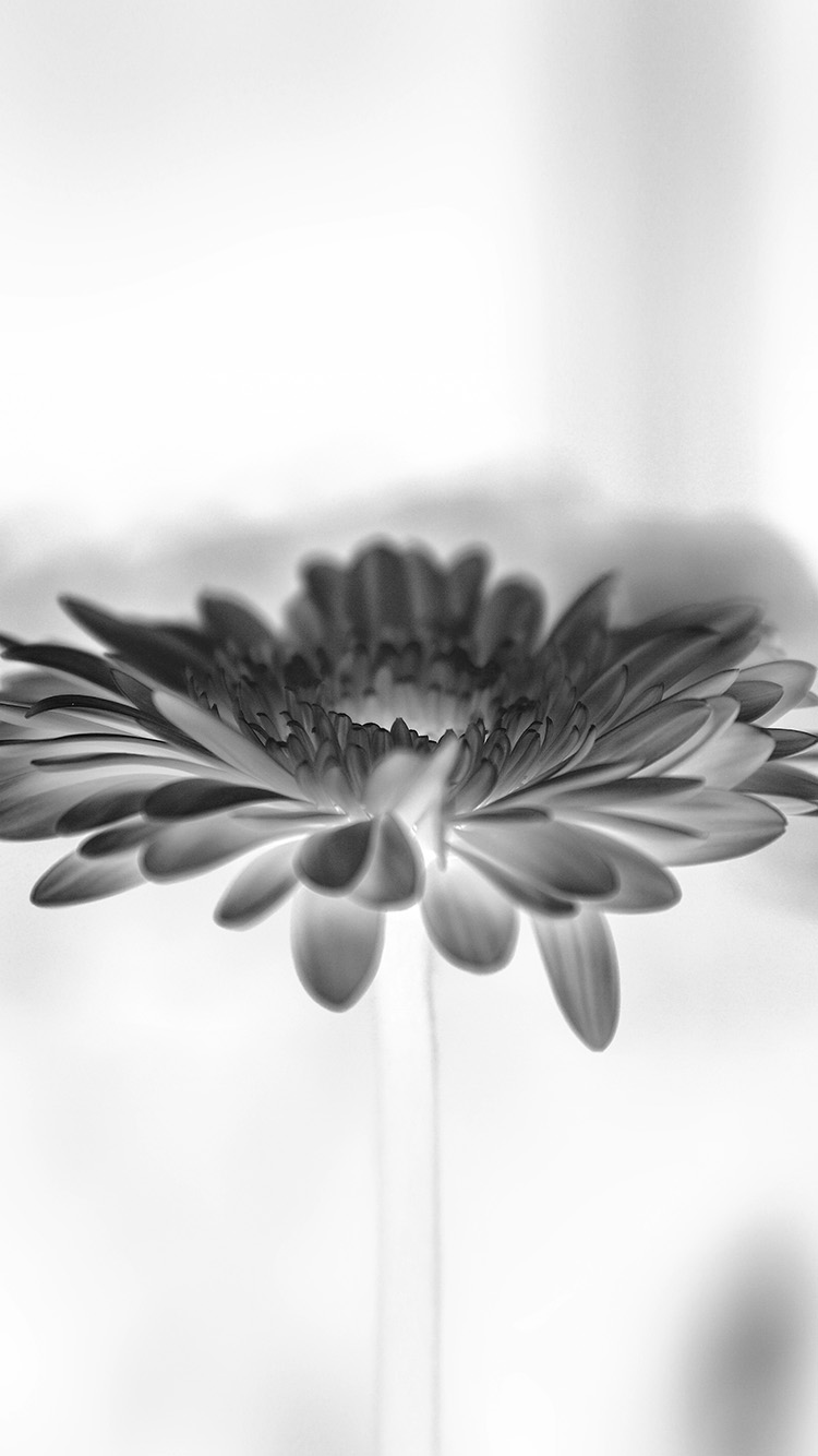 iPhone6papers.co-Apple-iPhone-6-iphone6-plus-wallpaper-my63-flower-white-calm-nature-bw