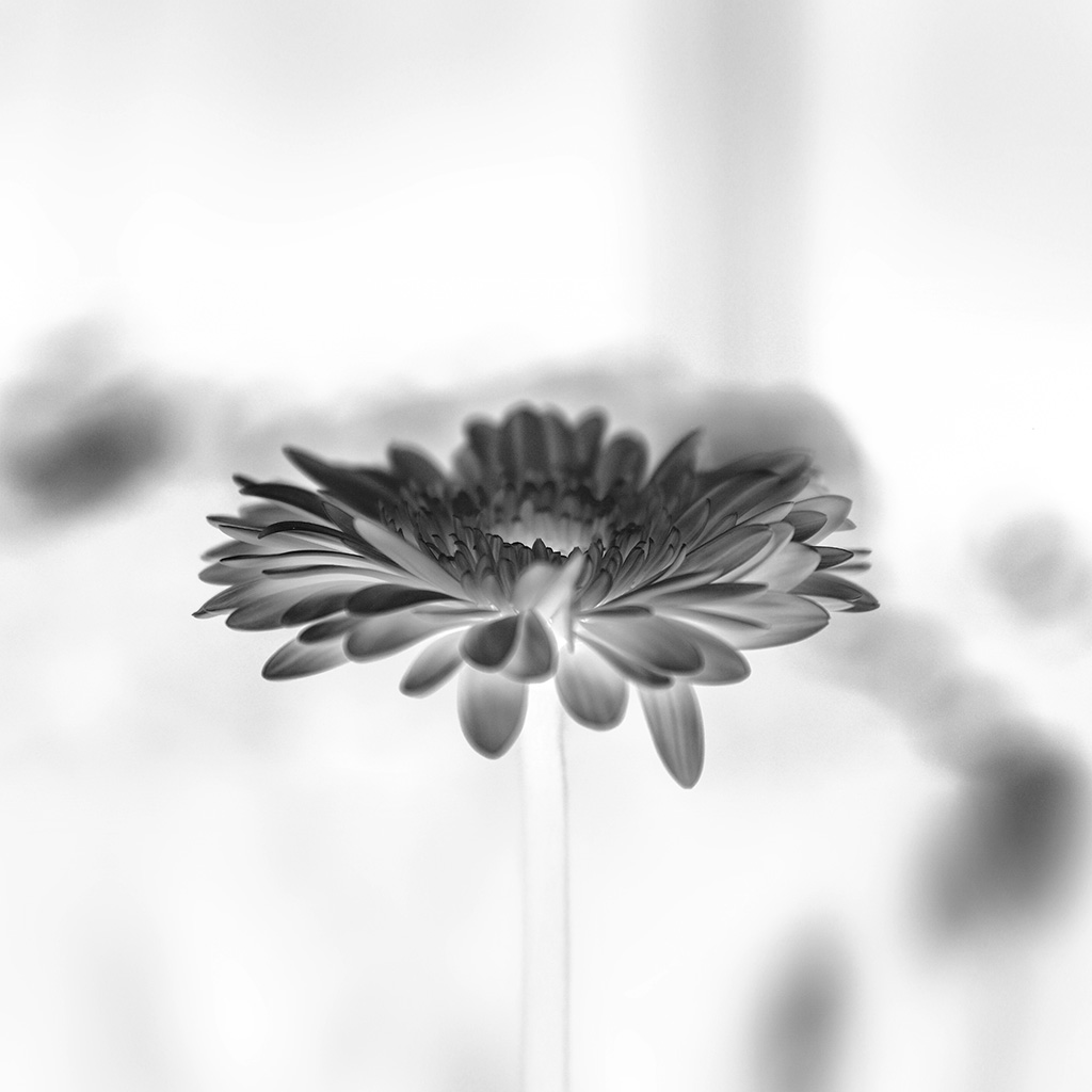 android-wallpaper-my63-flower-white-calm-nature-bw-wallpaper