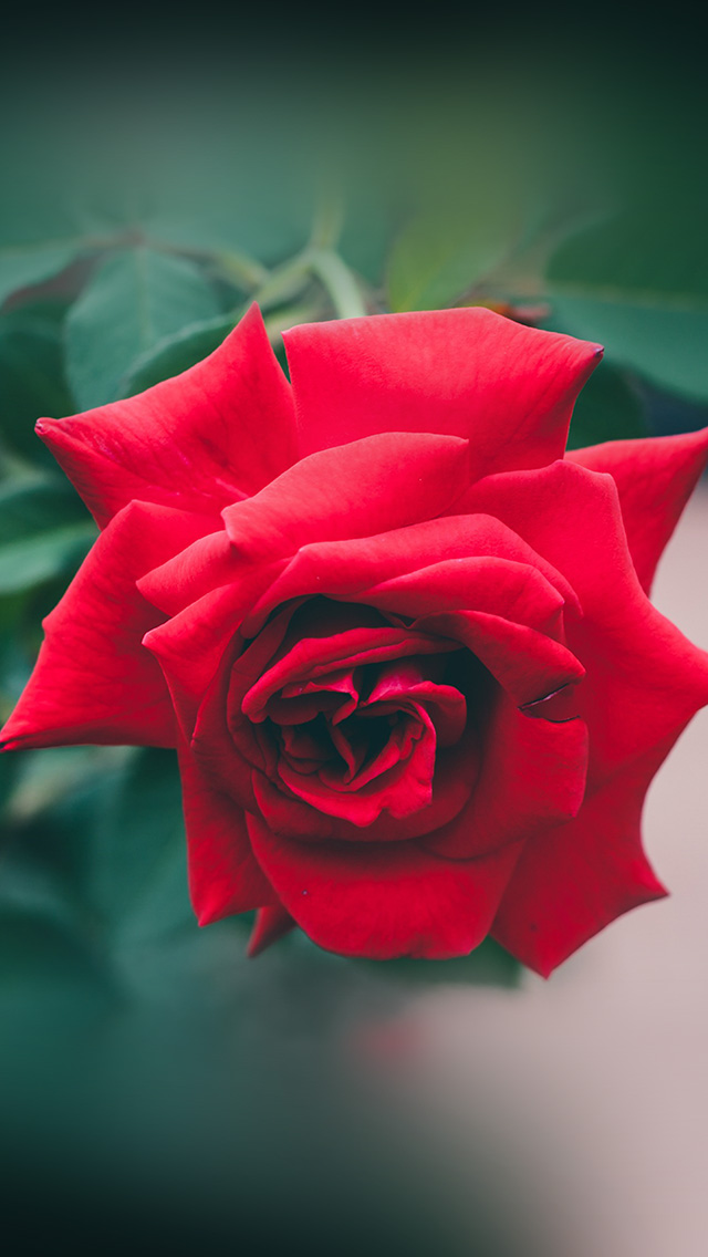 Iphonepapers Com Iphone 8 Wallpaper My88 Red Rose Nature Flower