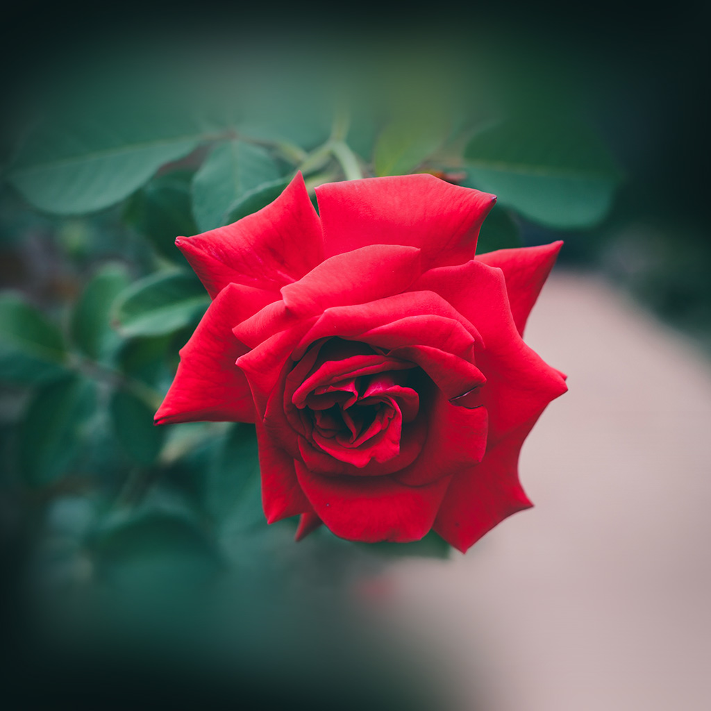 android-wallpaper-my88-red-rose-nature-flower-wood-love-valentine-wallpaper