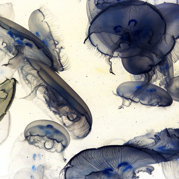 iPapers.co-Apple-iPhone-iPad-Macbook-iMac-wallpaper-mz17-pacific-jellyfish-ocean-sea-animal-nature-white-wallpaper