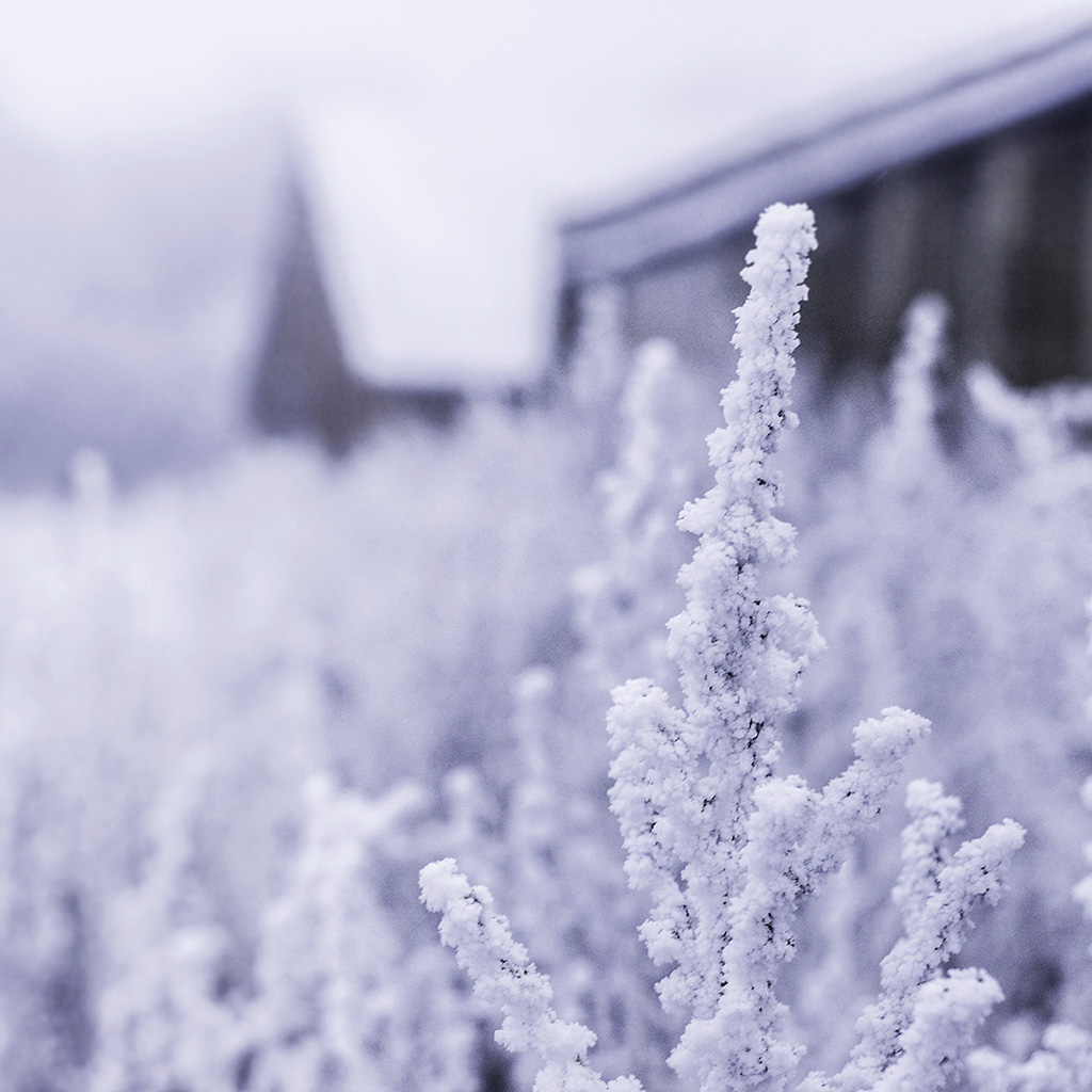 wallpaper-mz70-snow-white-winter-flower-blue-wallpaper