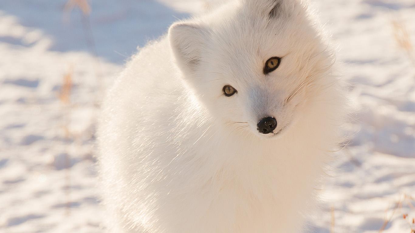 desktop-wallpaper-laptop-mac-macbook-air-mz77-winter-animal-fox-white-wallpaper