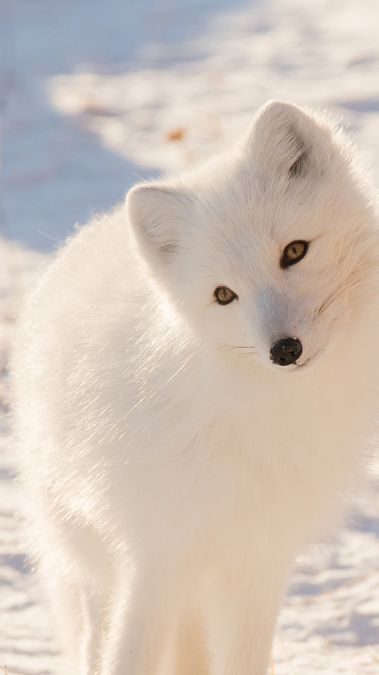 iPhone6papers.co-Apple-iPhone-6-iphone6-plus-wallpaper-mz77-winter-animal-fox-white
