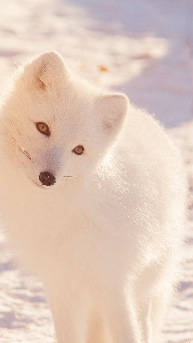 iPhone6papers.co-Apple-iPhone-6-iphone6-plus-wallpaper-mz78-winter-animal-fox-white-flare