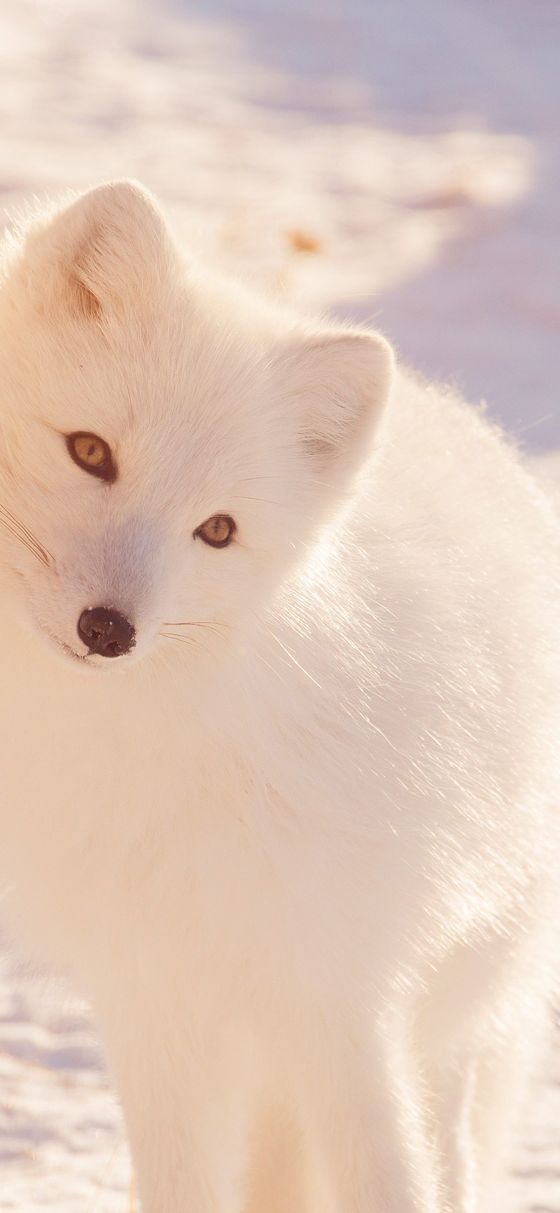 iPhonexpapers.com-Apple-iPhone-wallpaper-mz78-winter-animal-fox-white-flare