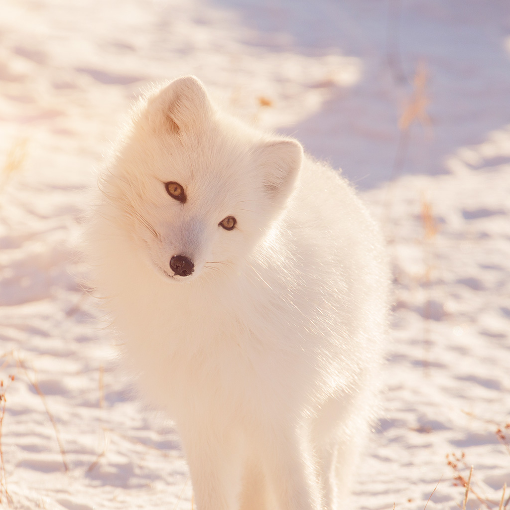android-wallpaper-mz78-winter-animal-fox-white-flare-wallpaper