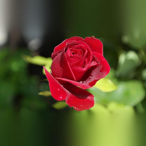 iPapers.co-Apple-iPhone-iPad-Macbook-iMac-wallpaper-nb20-rose-red-nature-flower-bokeh-rain-wallpaper