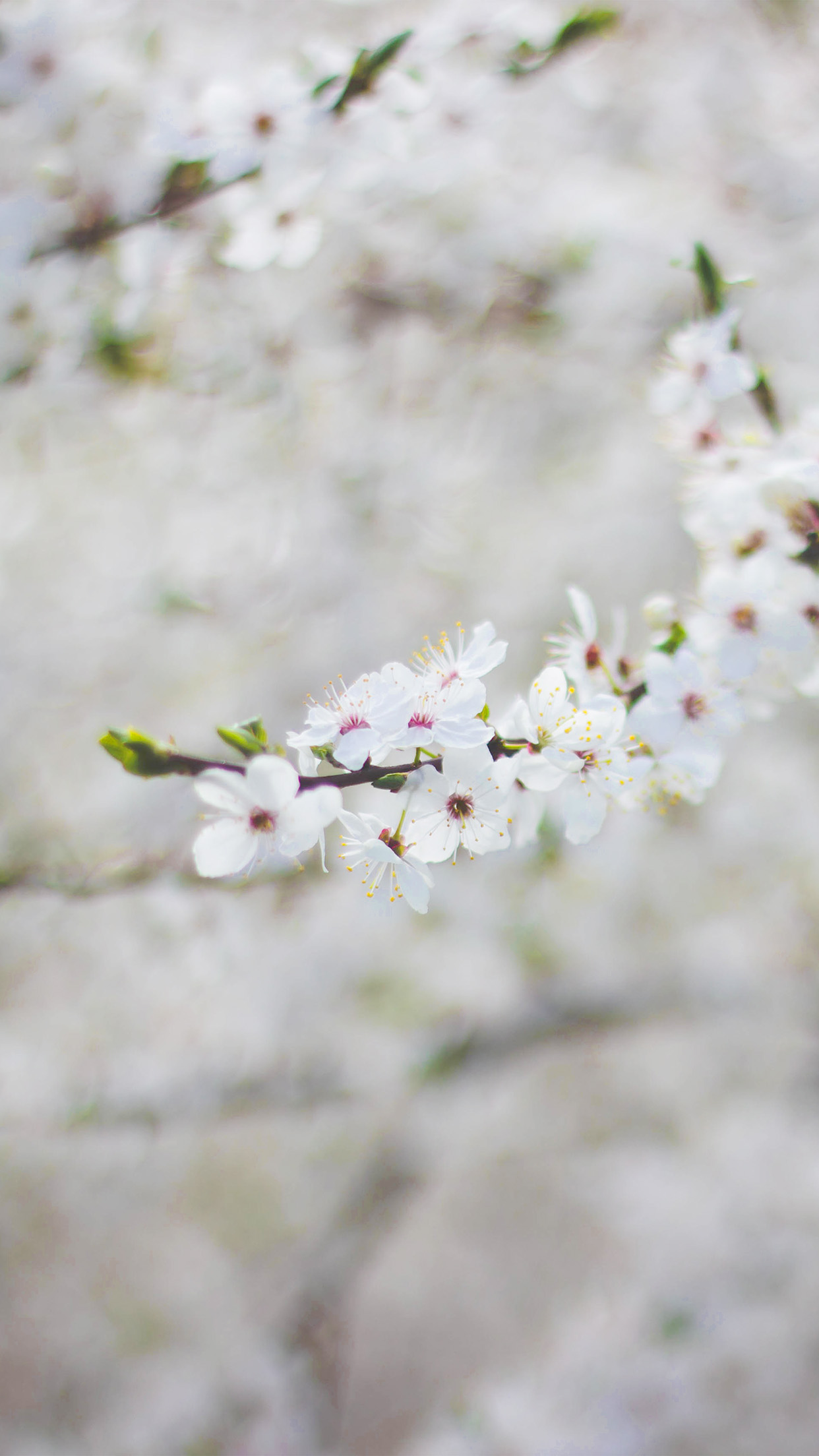 Iphone7papers Com Iphone7 Wallpaper Nb64 Spring Flower Cherry