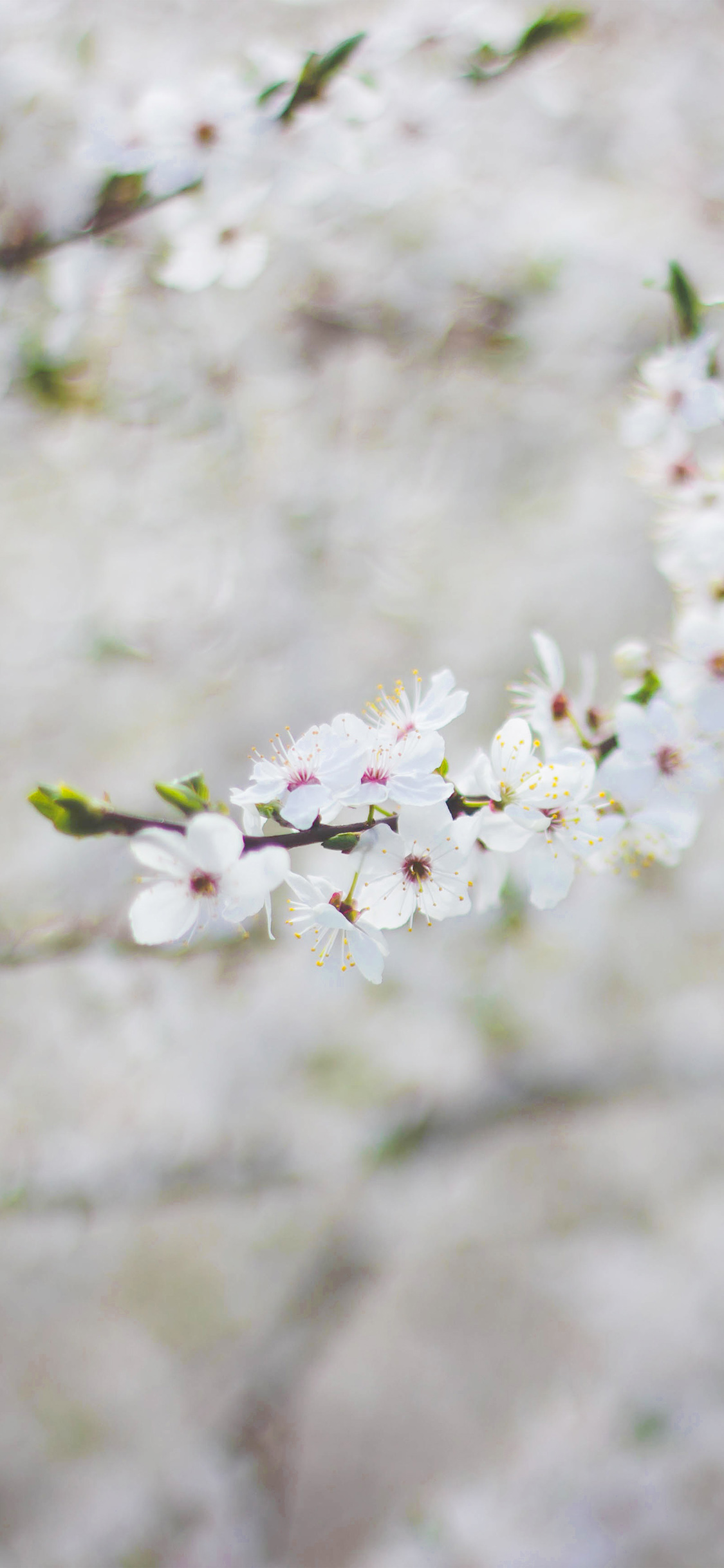 iPhoneXpapers.com-Apple-iPhone-wallpaper-nb64-spring-flower-cherry-blossom-bokeh