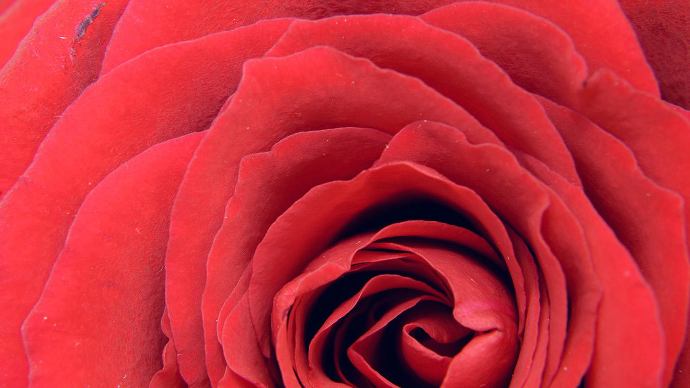 desktop-wallpaper-laptop-mac-macbook-air-nb73-rose-red-flower-nature-love-wallpaper