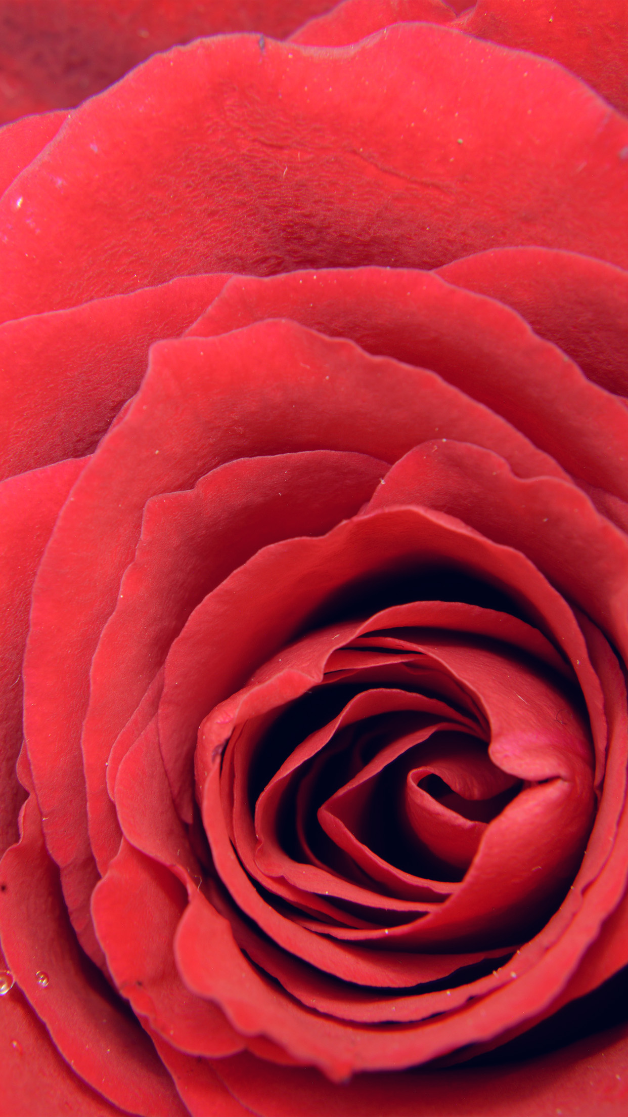 Iphone7paperscom Iphone7 Wallpaper Nb73 Rose Red Flower