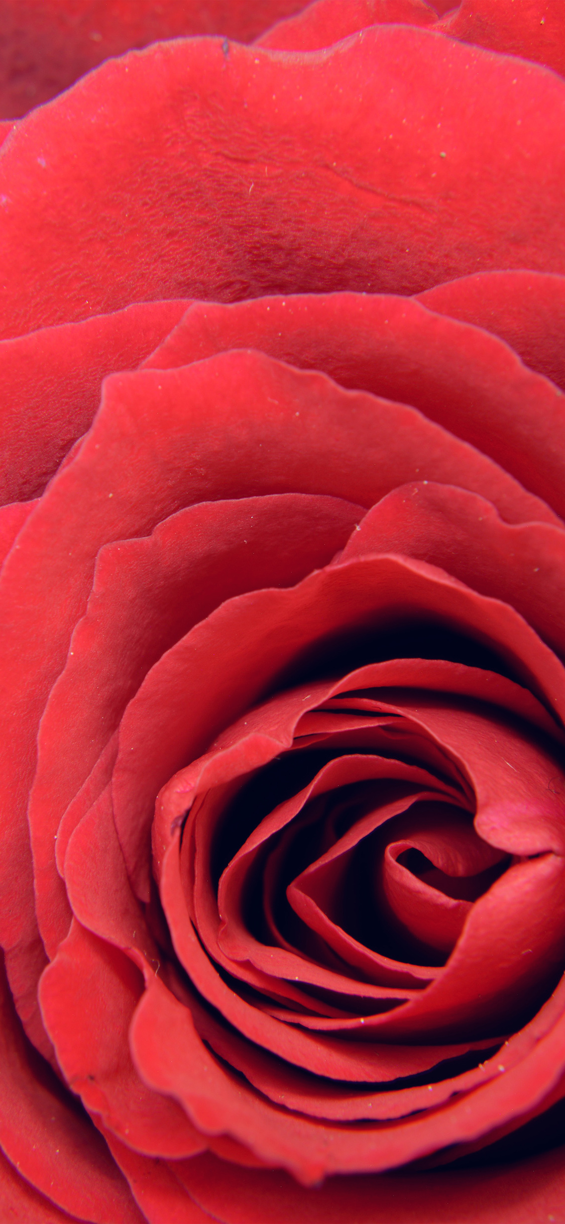 iPhoneXpapers.com-Apple-iPhone-wallpaper-nb73-rose-red-flower-nature-love