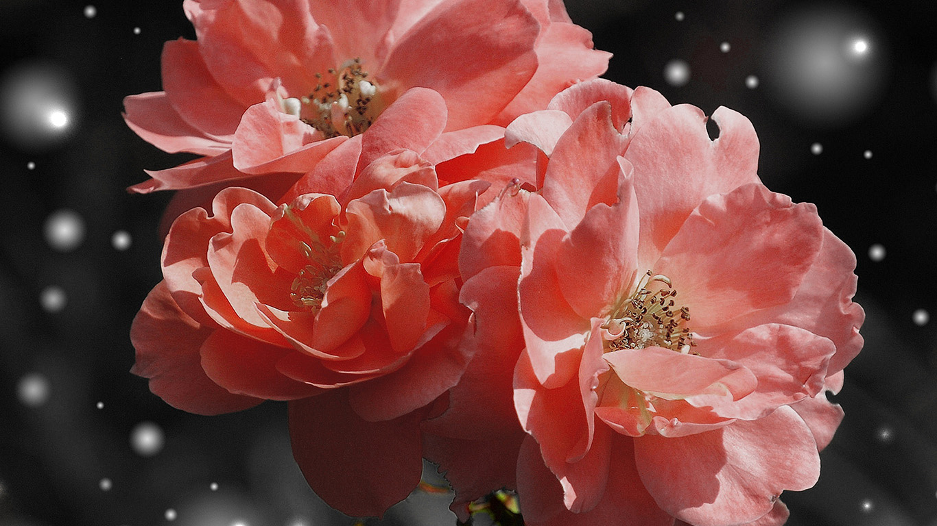 desktop-wallpaper-laptop-mac-macbook-air-nc37-flower-pink-snow-nature-art-wallpaper