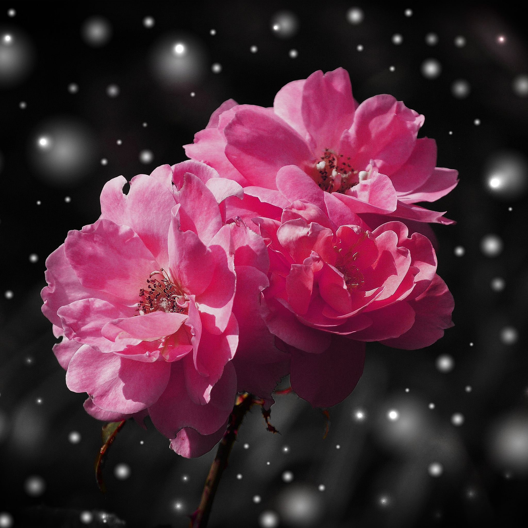 Nc38-flower-red-snow