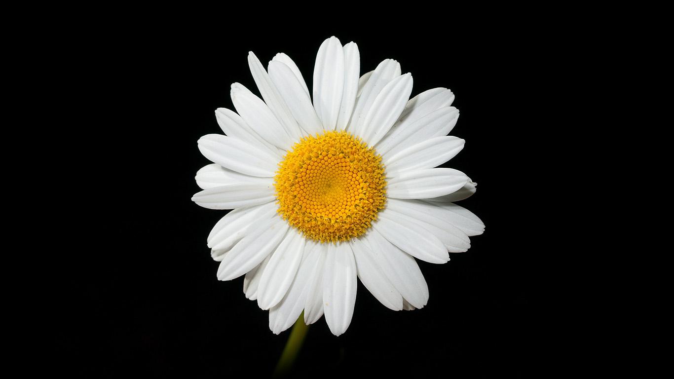 desktop-wallpaper-laptop-mac-macbook-air-nc79-daisy-flower-dark-nature-wallpaper