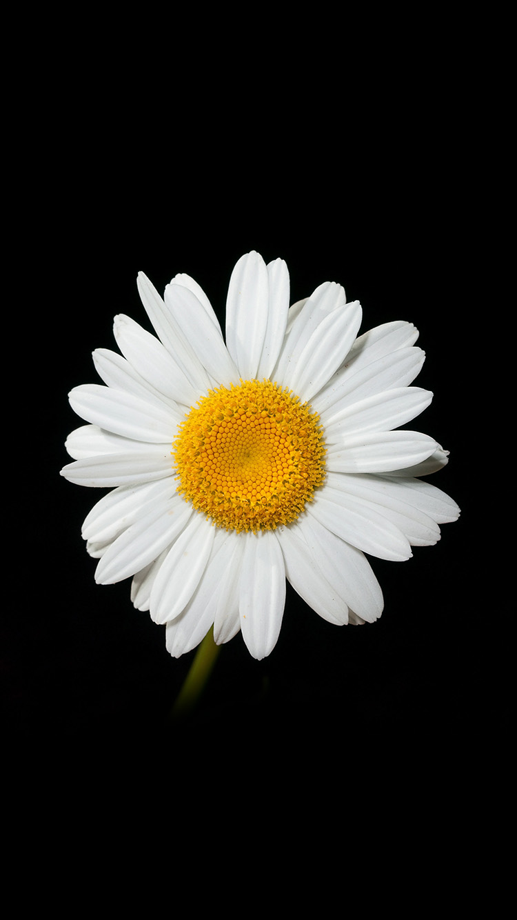 iPhone6papers.co-Apple-iPhone-6-iphone6-plus-wallpaper-nc79-daisy-flower-dark-nature