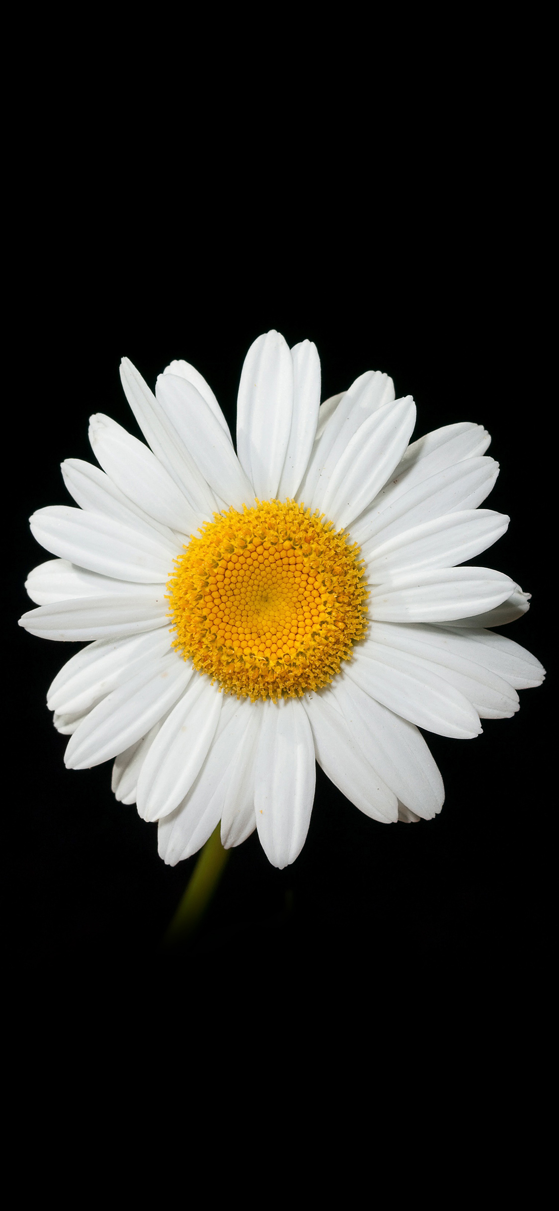 iphonexpapers | iphone x wallpaper | nc79-daisy-flower-dark-nature