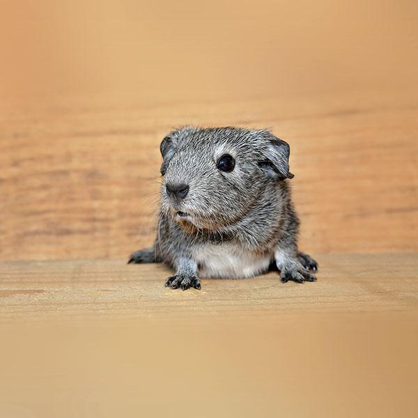 iPapers.co-Apple-iPhone-iPad-Macbook-iMac-wallpaper-nd55-guinea-pig-cute-animal-pet-wallpaper