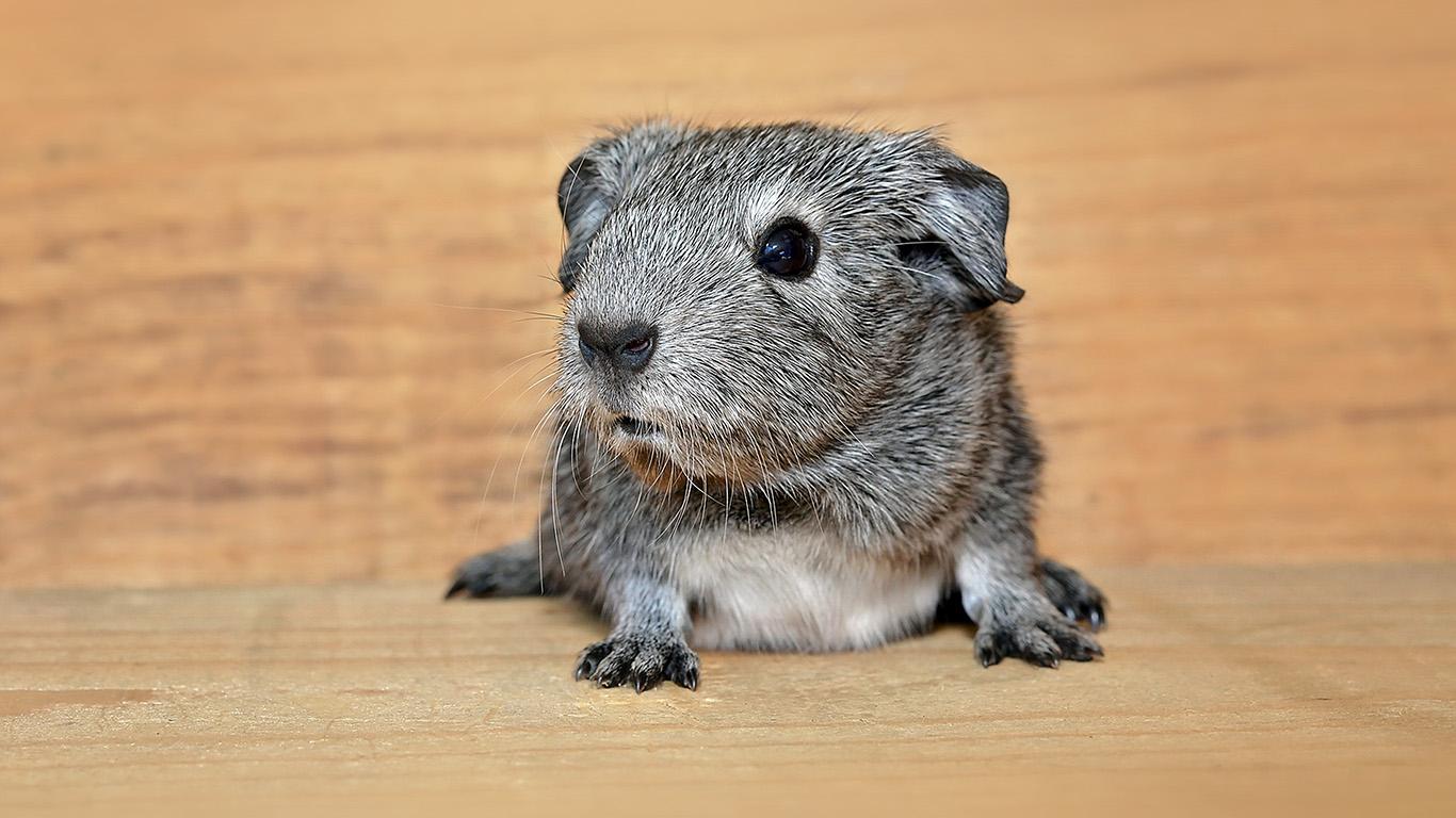 desktop-wallpaper-laptop-mac-macbook-air-nd55-guinea-pig-cute-animal-pet-wallpaper