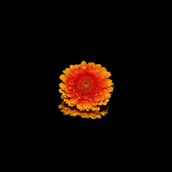 iPapers.co-Apple-iPhone-iPad-Macbook-iMac-wallpaper-nd66-flower-red-dark-wallpaper