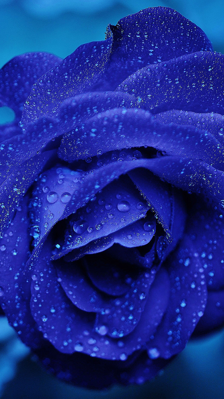 iPhone6papers.co-Apple-iPhone-6-iphone6-plus-wallpaper-nd81-rose-flower-blue-rain-bokeh-zoom