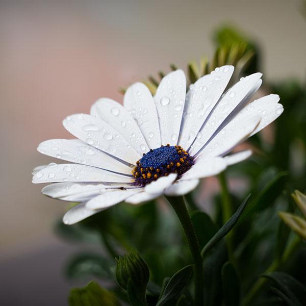iPapers.co-Apple-iPhone-iPad-Macbook-iMac-wallpaper-nd95-white-flower-nature-spring-rain-wallpaper