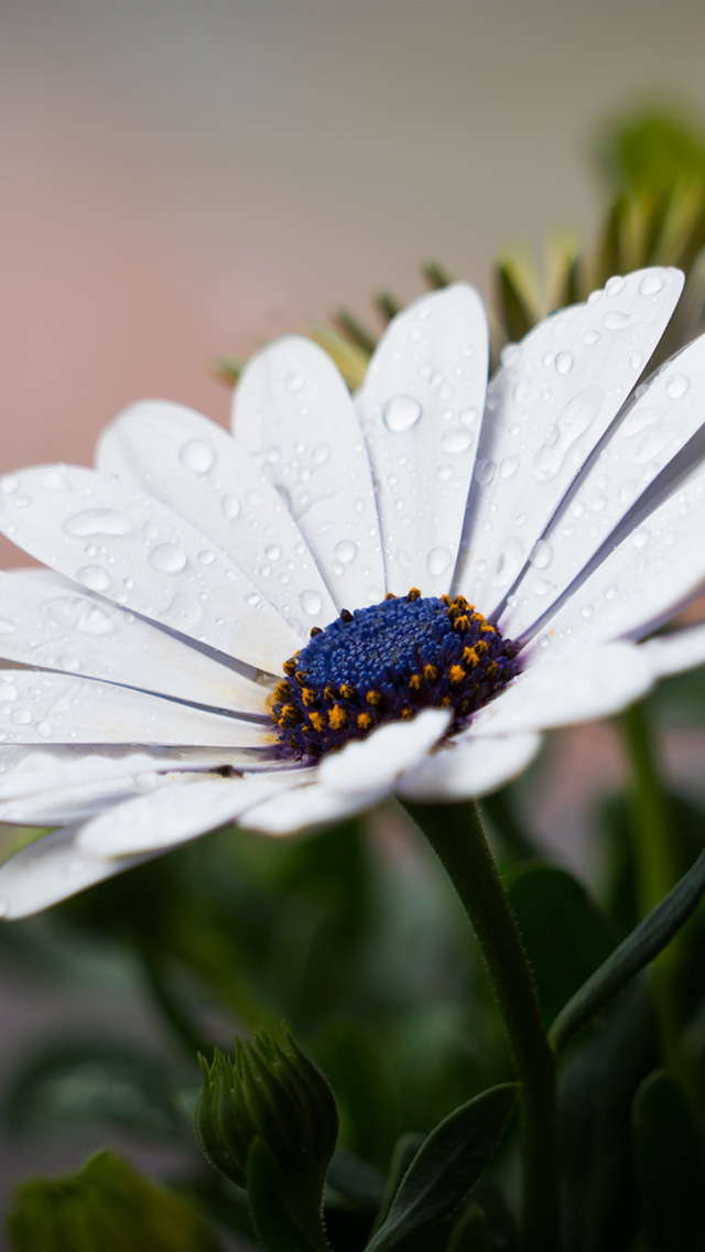 freeios8.com-iphone-4-5-6-plus-ipad-ios8-nd95-white-flower-nature-spring-rain