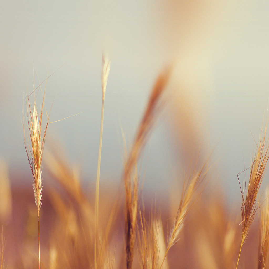wallpaper-ne08-rye-field-nature-bokeh-flower-orange-wallpaper