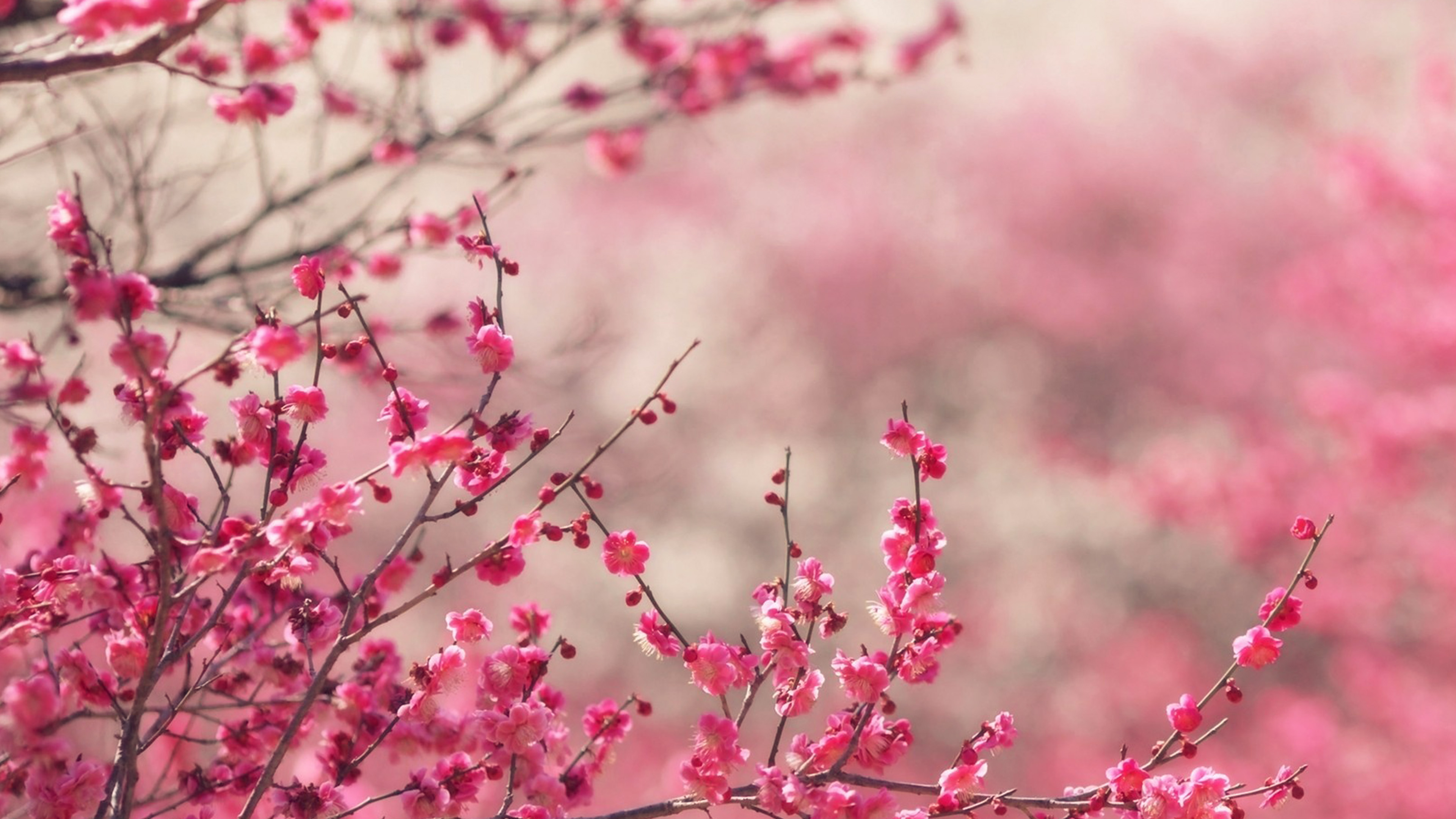 Wallpaper for desktop laptop nf14 pink blossom nature - Red flower desktop wallpaper ...