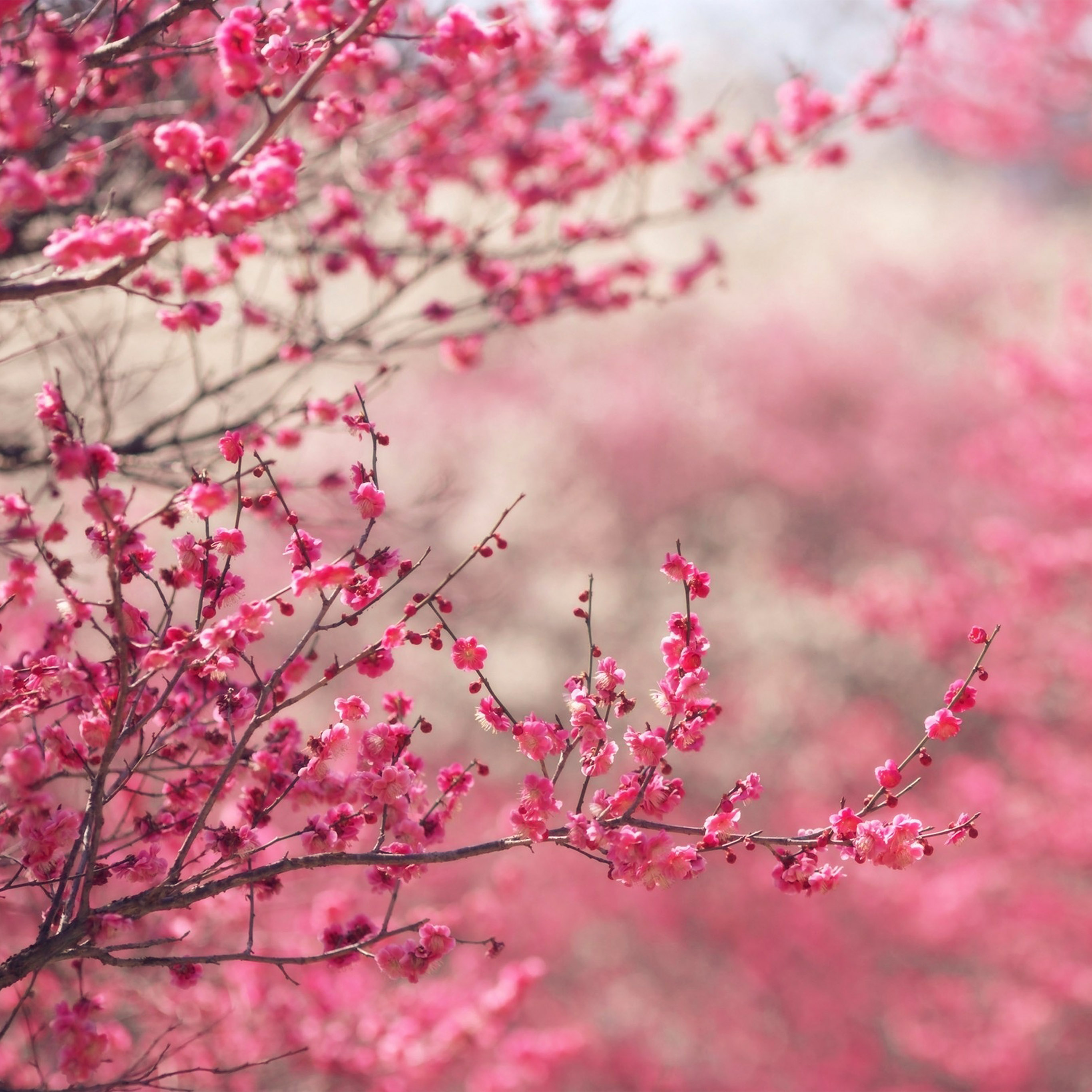 nf14-pink-blossom-nature-flower-spring-wallpaper