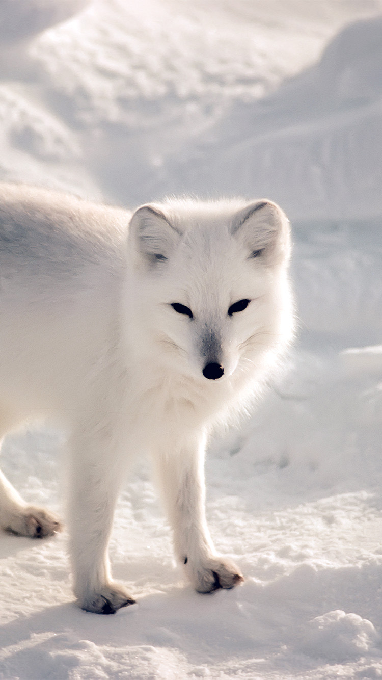 iPhone6papers.co-Apple-iPhone-6-iphone6-plus-wallpaper-nf27-white-artic-fox-snow-winter-animal