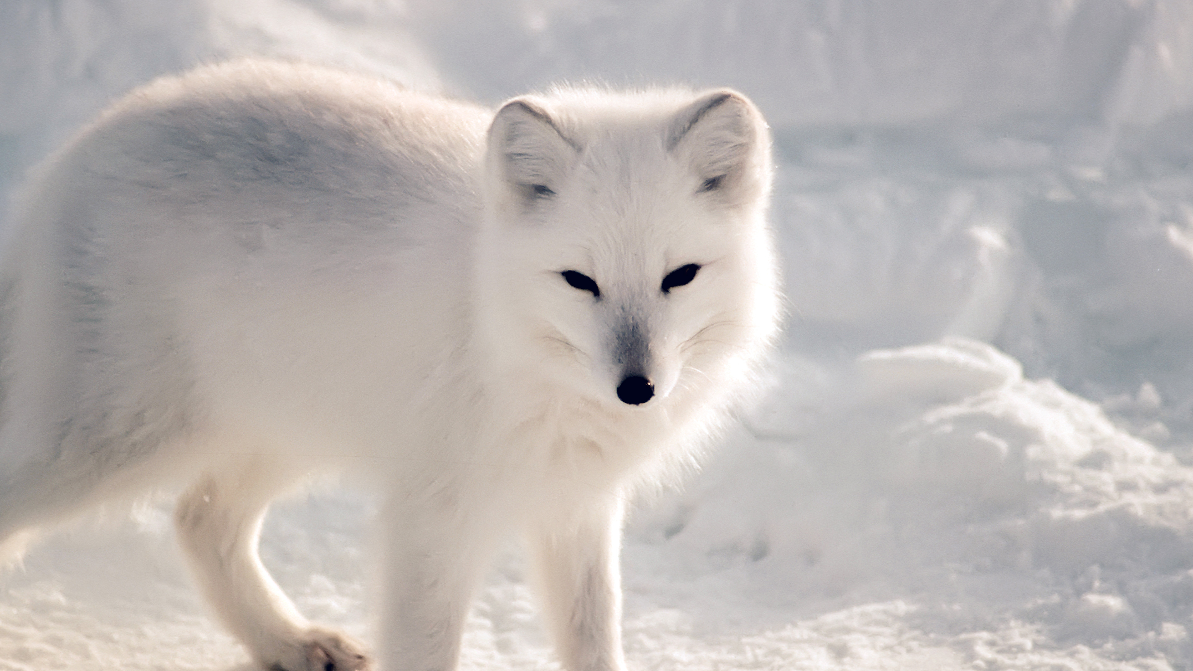 wallpaper for desktop, laptop | nf27-white-artic-fox-snow ... Dark Blue Background Hd