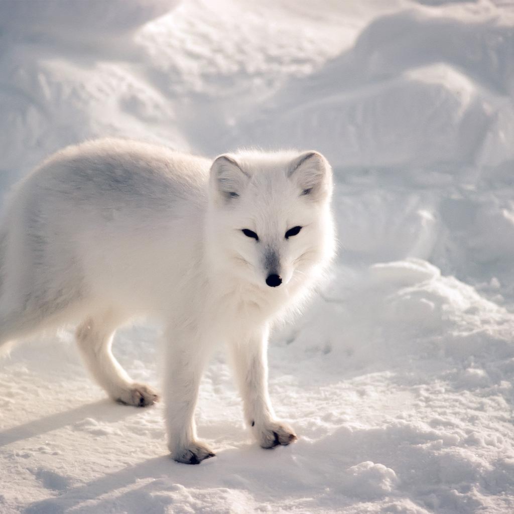 red fox in oceania essay