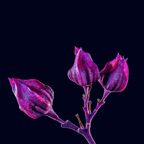 iPapers.co-Apple-iPhone-iPad-Macbook-iMac-wallpaper-nf29-flower-red-dark-art-nature-purple-wallpaper