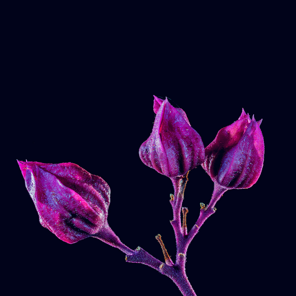wallpaper-nf29-flower-red-dark-art-nature-purple-wallpaper