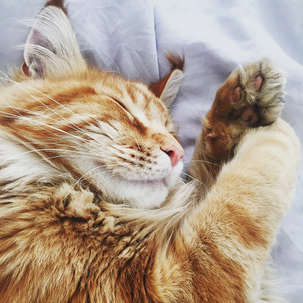 android-wallpaper-nf63-cat-nap-sleeping-animal-cute-orange-wallpaper