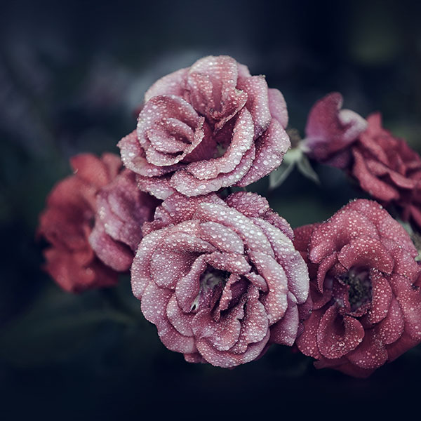 iPapers.co-Apple-iPhone-iPad-Macbook-iMac-wallpaper-nf66-rose-pink-raindrop-flower-summer-nature-blue-wallpaper