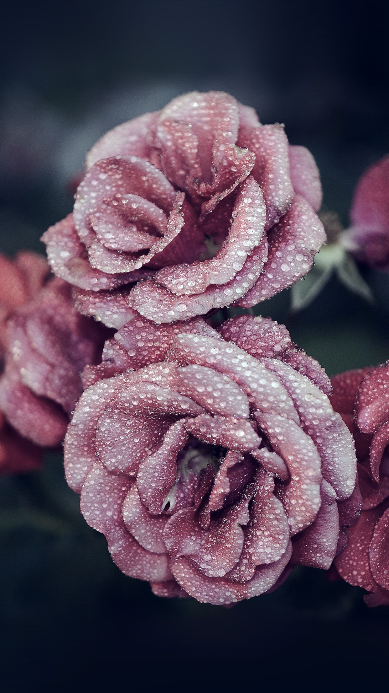 For iphone x iphonexpapers - Rose in snow wallpaper ...