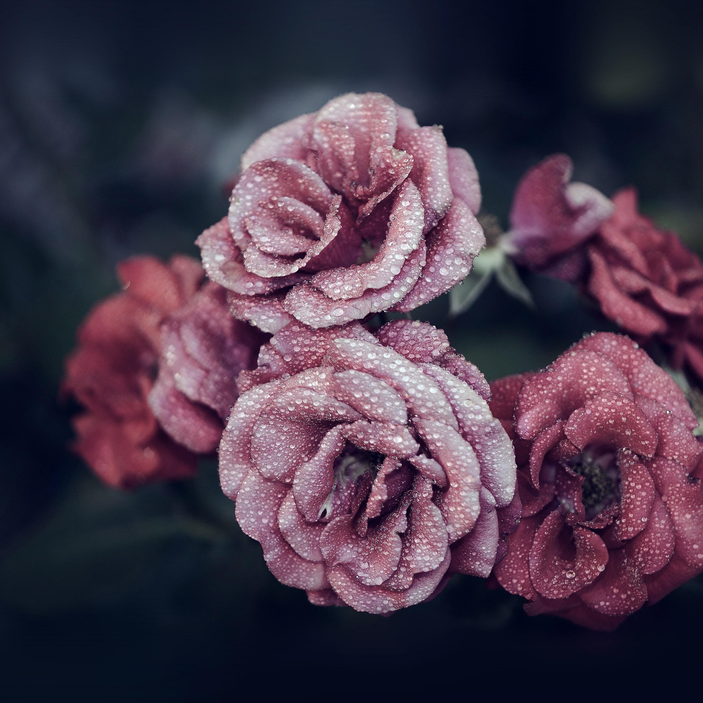 Nf66 Rose Pink Raindrop Flower Summer Nature Blue Wallpaper