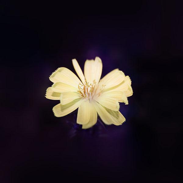 iPapers.co-Apple-iPhone-iPad-Macbook-iMac-wallpaper-ng15-flower-blue-yellow-spring-new-life-nature-dark-wallpaper