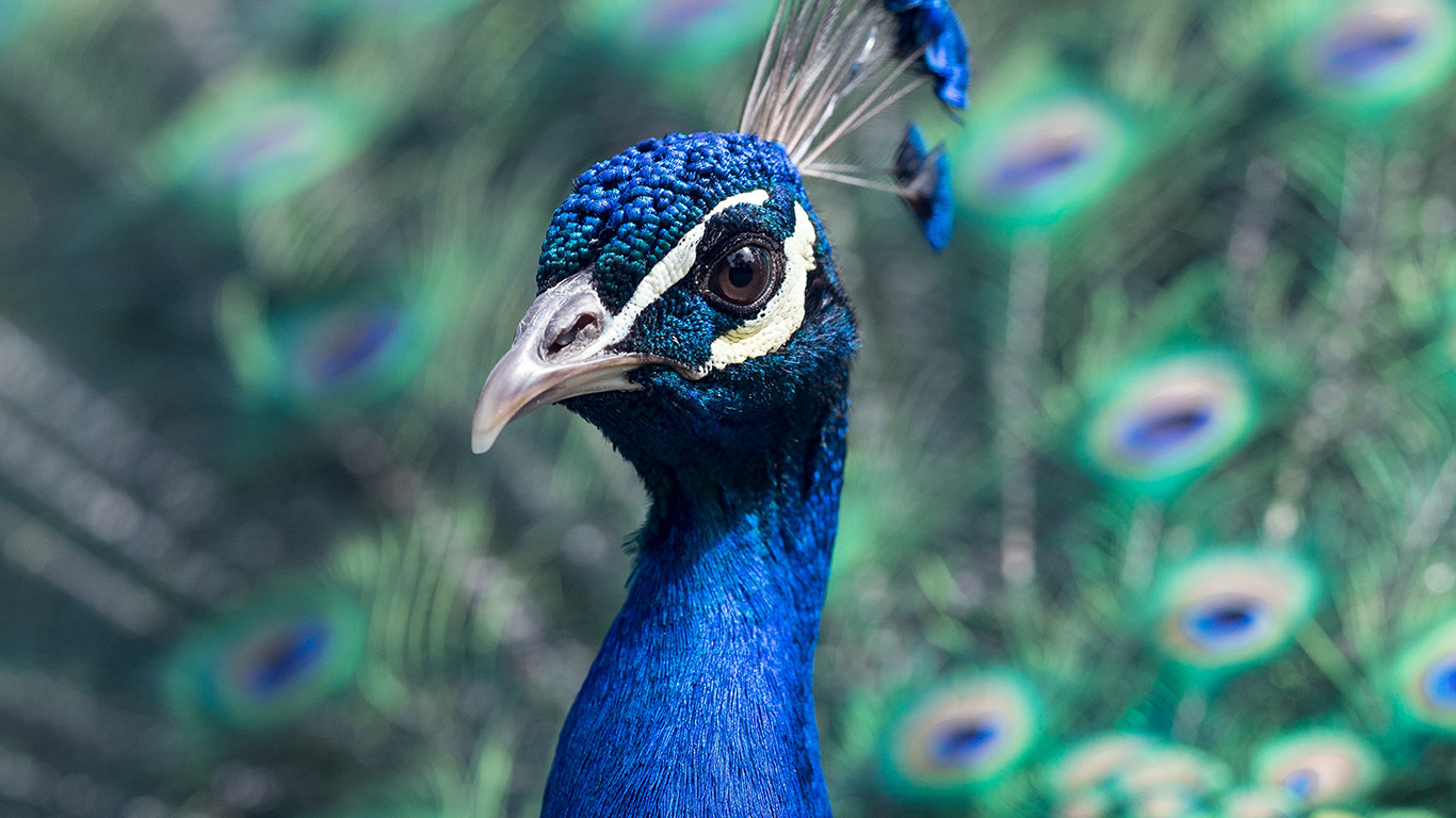 desktop-wallpaper-laptop-mac-macbook-air-ng44-peacock-animal-bird-nature-blue-wallpaper
