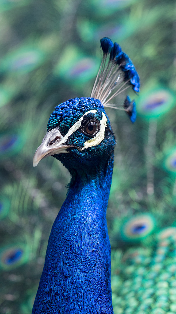 iPhone6papers.co-Apple-iPhone-6-iphone6-plus-wallpaper-ng44-peacock-animal-bird-nature-blue
