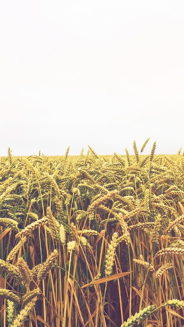 freeios8.com-iphone-4-5-6-plus-ipad-ios8-ng52-flower-reed-field-rice-nature-green-yellow-flare