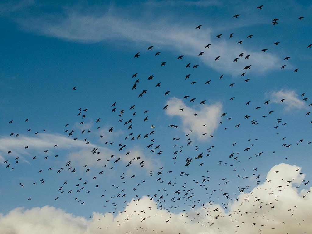 Wallpapers Hd Flying Birds Apple Animals Blue Sky Desktop: Ng83-birds-sky-animal-fly-blue-cloud-nature-wallpaper