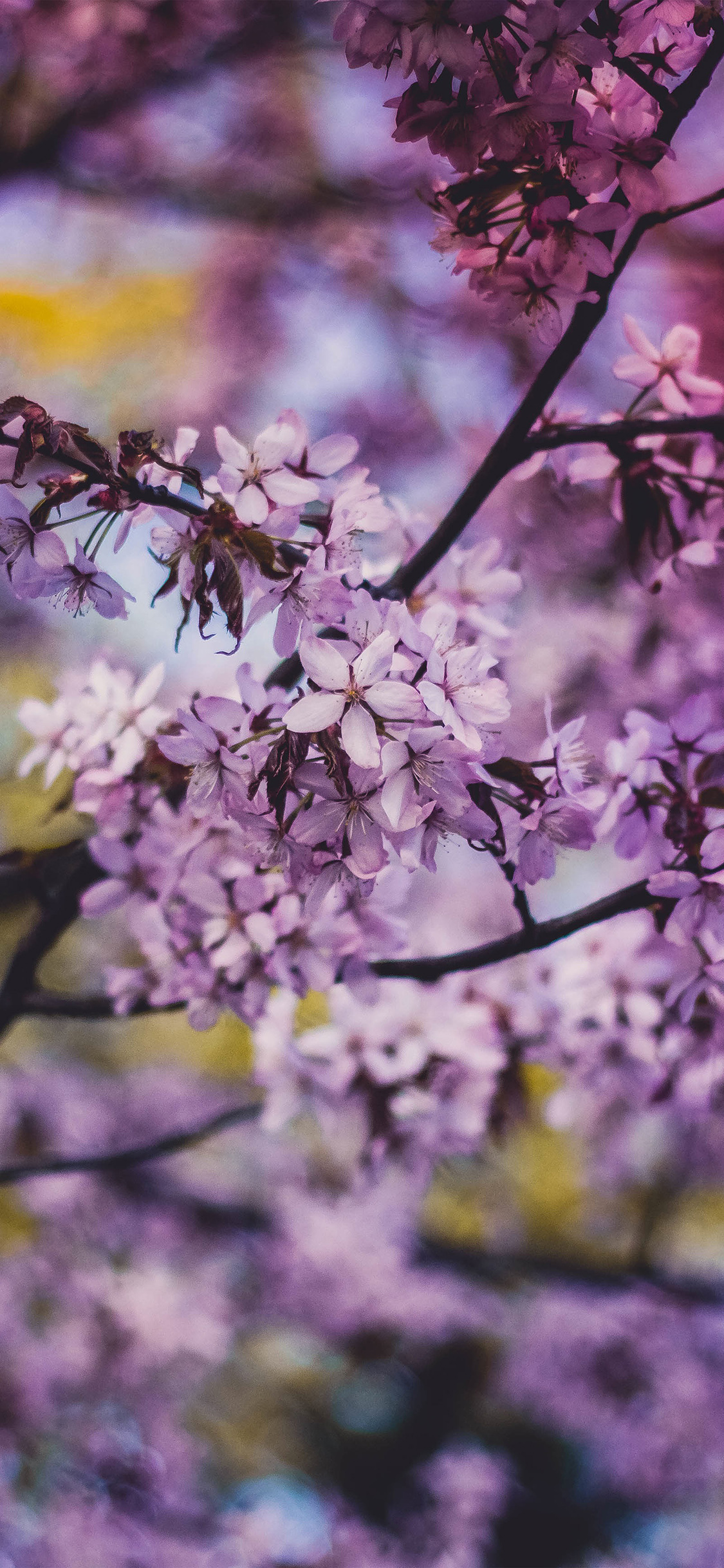 Ipapers Co Ng97 Flower Pink Blue Nature Bokeh Tree Spring