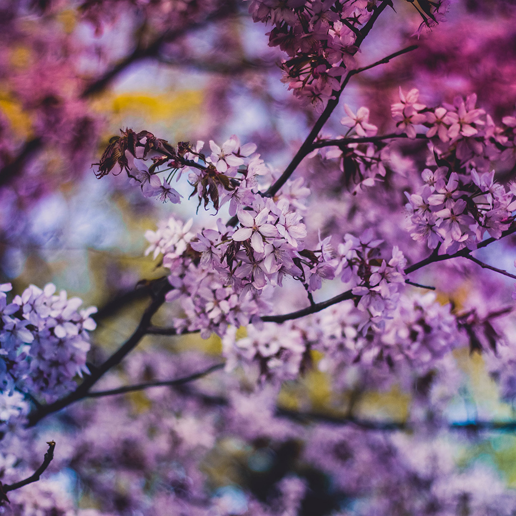 android-wallpaper-ng97-flower-pink-blue-nature-bokeh-tree-spring-wallpaper