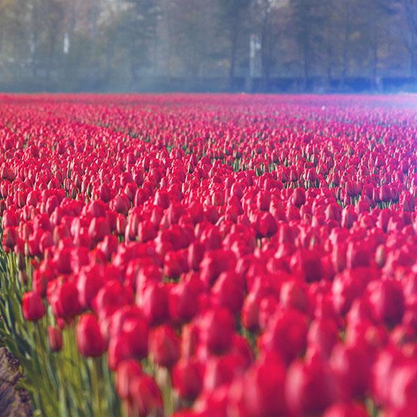 iPapers.co-Apple-iPhone-iPad-Macbook-iMac-wallpaper-ni19-red-rose-flower-spring-happy-pink-flare-wallpaper
