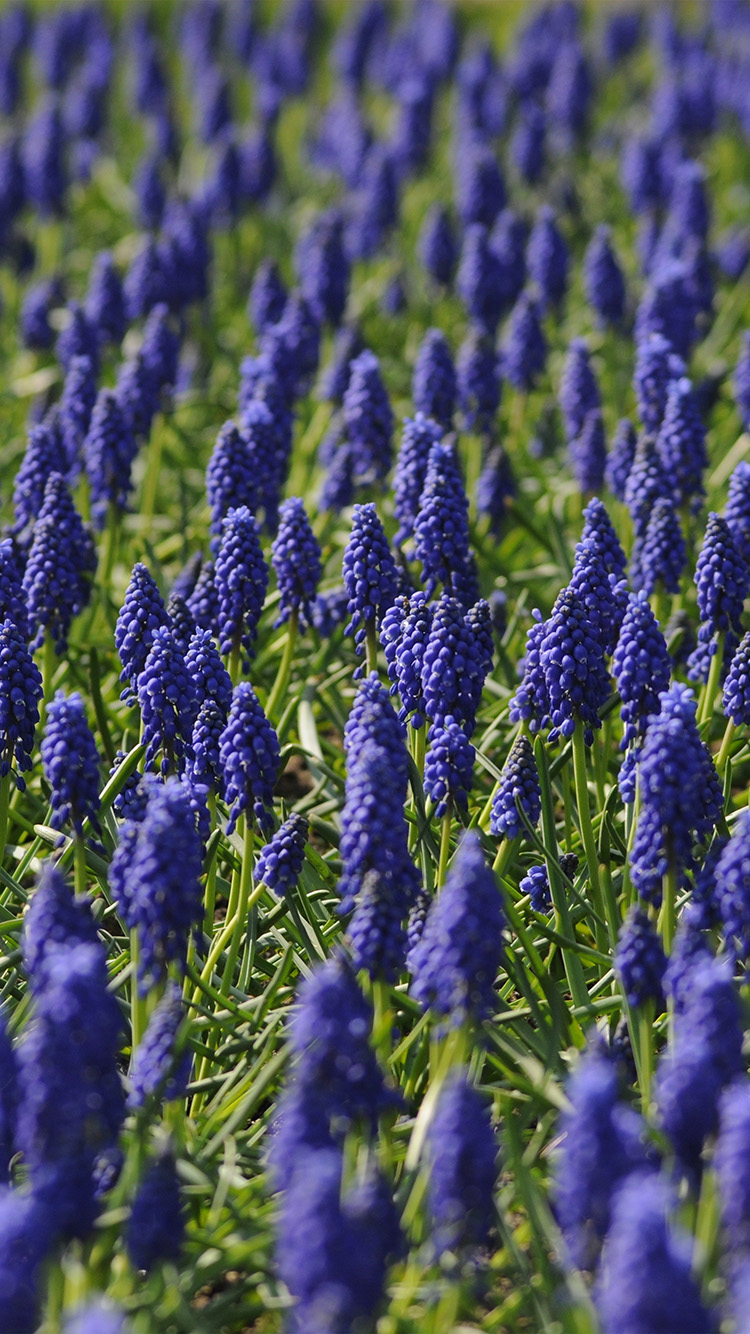 Papers.co-iPhone5-iphone6-plus-wallpaper-ni29-muscari-field-flower-summer-nature